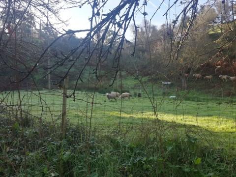 כבשים רועים באלנטז'ו