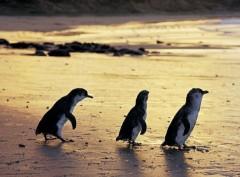 מצעד הפינגווינים, שמורת אור-הירח וצ'רצ'יל איילנד ממלבורן