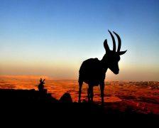 יעל נובי - חיים אציליים במדבר ההררי. אולי תזכו לראותם. (צילום: אלון קלינגר. מתוך אתר פיקיוויקי)