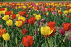 סיור בגני קוקנהוף ושדות פרחי הטוליפ