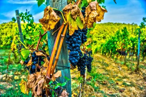 grape-1647075_1920