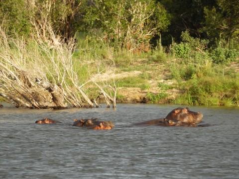 היפופוטמים בנהר הזמבזי
