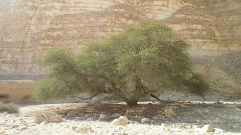 עץ השיטה - מעטר את המדבר בירוק מהמם, ומצל את מנוחת הטייל (התמונה באדיבות אתר http://www.pikiwiki.org.il/)
