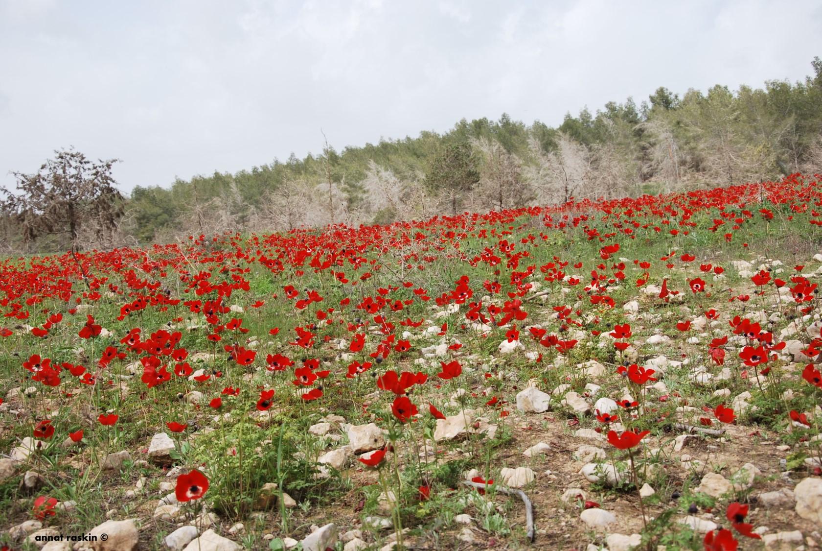 דרום אדום-פריחת כלניות ביער דבירה צילום-ענת רסקין