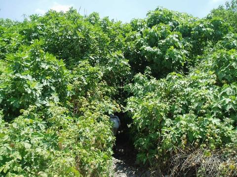 עצי תאנים בין תינה, מויקי פדיה