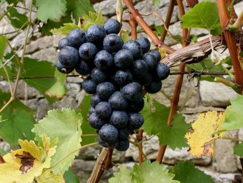 גפני ענבים ליצור יין בניו זילנד. תמונה חופשית RGBStock.com license
